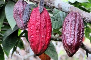 Bio Kakao gesund
